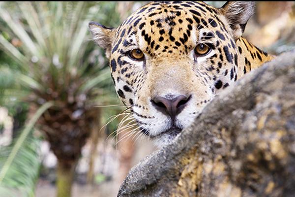 jaguar-piscilago-colsubsidio-6