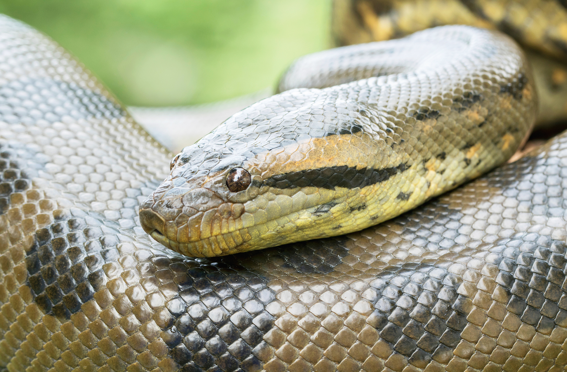 anaconda-piscilago-colsubsidio