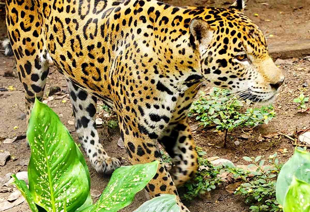 jaguar_piscilago_colsubsidio1200x820