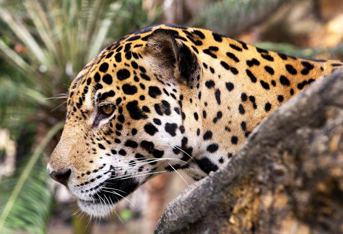 jaguar_piscilago_colsubsidio_2_1200x820